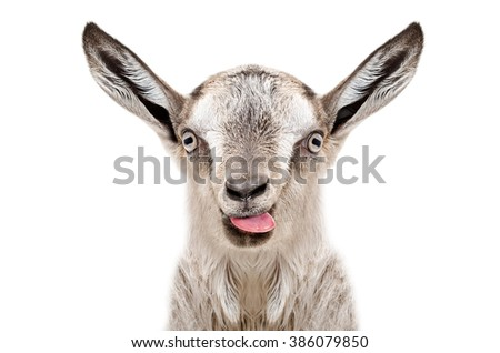 Portrait of funny gray goatling showing tongue, isolated on white background