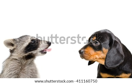 Portrait of funny raccoon and puppy breed Slovakian Hound isolated on white background - stock photo