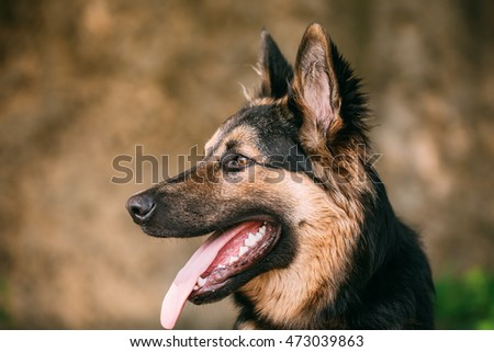 Portrait Of Gazing Medium Size Mongrel Mixed Breed Long-Haired Black And Red Adult Dog With Prick-Ears, Opened Jaws, Tongue, Teeth.