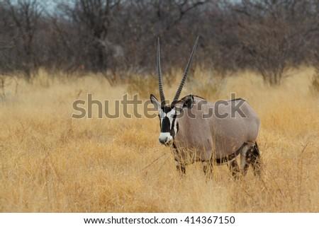 portrait of Gemsbok in savanna, Oryx gazella, dominant Gemsbok antelope in the park, Etosha, Namibia - stock photo