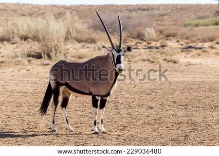 portrait of Gemsbok, Oryx gazella,dominant Gemsbok antelope in the park, Kalahari, South Africa  - stock photo