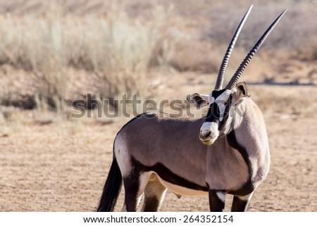 portrait of Gemsbok, Oryx gazella,dominant Gemsbok antelope in the park, Kgalagadi, South Africa - stock photo