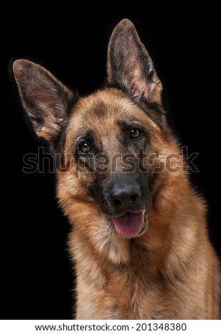 Portrait of German Shepherd - stock photo