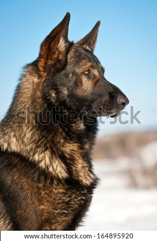 Portrait of german shepherd dog - stock photo