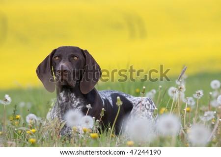 Portrait of German Short Hair Pointer - stock photo