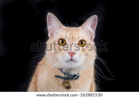 Portrait of Ginger cat on black background