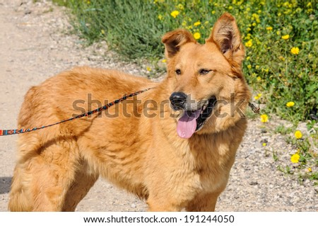Portrait of ginger dog  with leash looking away - stock photo