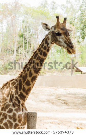 Portrait of giraffe over forest background. Close-up of the animal