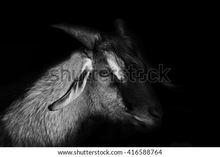 Portrait of goat black and white background