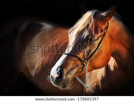portrait of golden arabian filly at black background