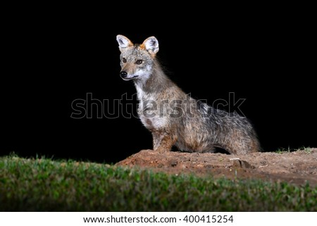 Portrait of Golden Jackal or fox at nigth, Thailand. - stock photo
