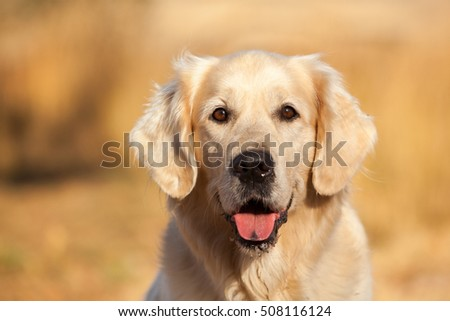 Portrait of Golden Retriever dog with background out of focus