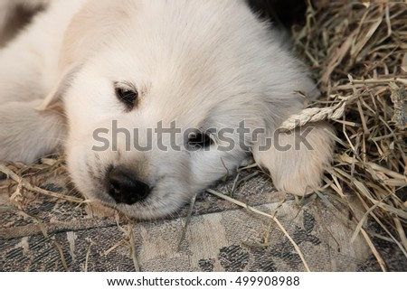 portrait of golden retriever puppy lying on a couch in the hay