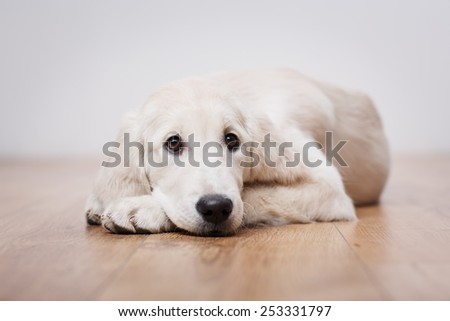 Portrait of golden retriever puppy sitting on the flour at room