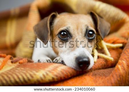 Portrait of good dog basking resting under a cozy blanket - stock photo