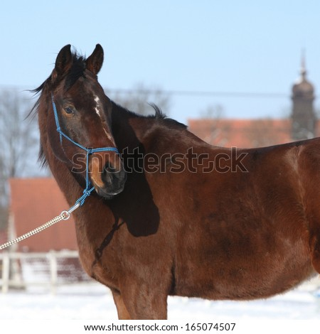 Portrait of gorgeous brown horse with blue rope halte in winter