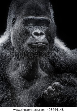 portrait of gorilla - stock photo
