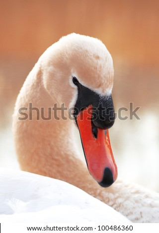 Portrait of graceful Swan on a lake - stock photo