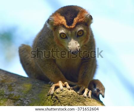 Portrait of gray bamboo lemur (Hapalemur griseus) male close up. - stock photo