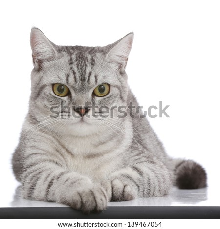 Portrait of gray shothair cat looking camera isolated on white background - stock photo