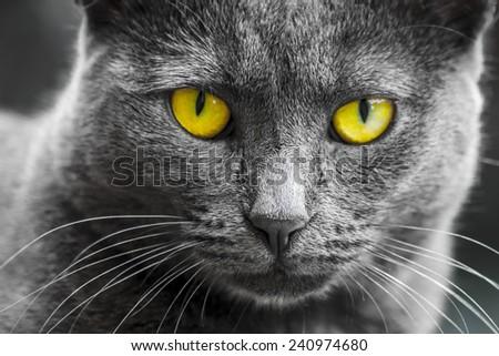 Portrait of gray yellow-eyed cat - stock photo