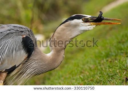 Portrait of Great blue heron (Ardea herodias) eating fish - stock photo