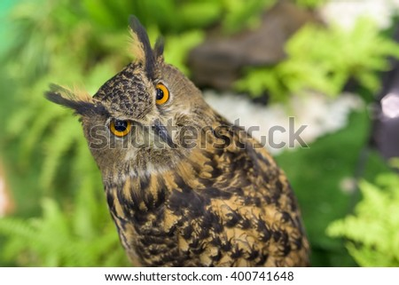 Portrait of Great horned owl (Bubo virginianus) with formal garden - stock photo