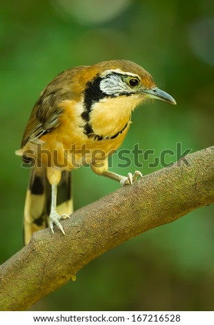 Portrait of Greater Necklaced Laughingthrush (Garrulax pectoralis)
