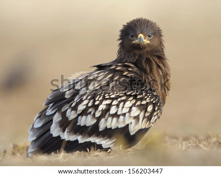 Portrait of Greater Spotted Eagle
