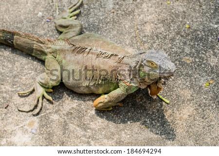 Portrait of Green Iguana, Thailand - stock photo