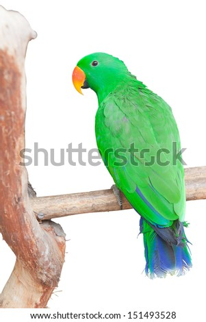 Portrait of Green Parrot, isolated on white background - stock photo