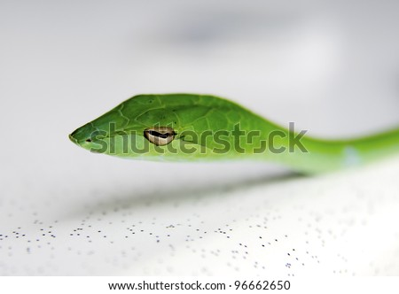 Portrait of green snake from Malaysian forest. - stock photo