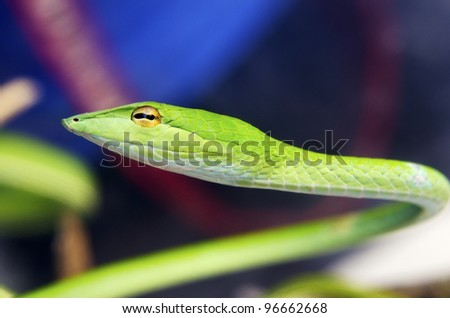 Portrait of green snake from Malaysian forest.