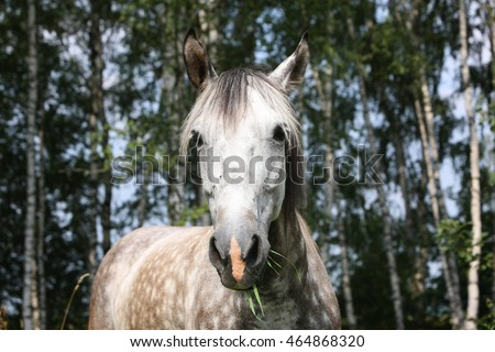 Portrait of grey horse eating the grass