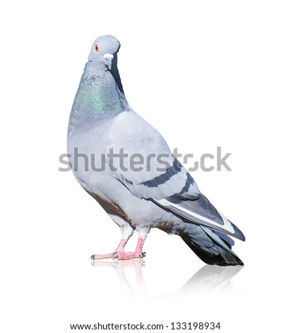 Portrait Of Grey Pigeon Isolated On White Background - stock photo