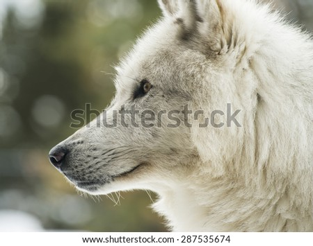 portrait of grey wolf in profile
