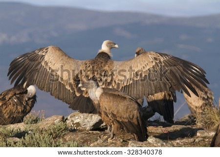 Portrait of griffon scavenger vultures with wings extended - stock photo