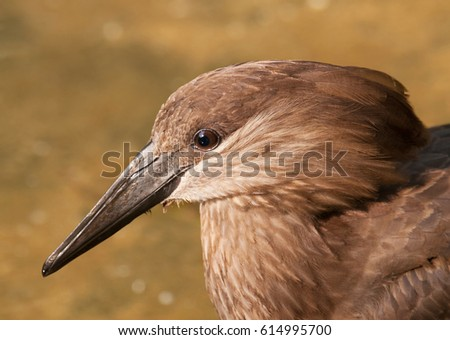 Portrait of hamerkop - Scopus umbretta