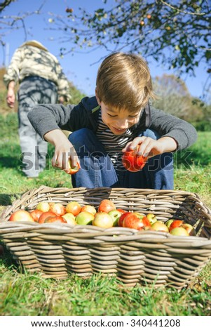 Portrait of happy cute kid putting fresh organic apples in wicker basket with fruit harvest. Nature and childhood concept.  - stock photo