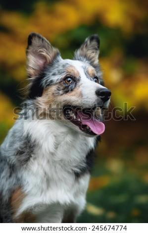 portrait of happy puppy border collie in autumn - stock photo