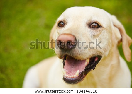 Portrait of happy yellow labrador labrador on grass - stock photo