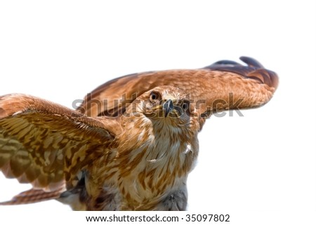 Portrait of hawk on white background, - stock photo