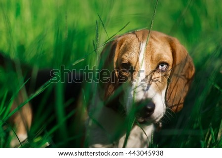 Portrait of heavy breathing Beagle dog. Brown and blue eyes. Cute domestic breed, good for family and kids - stock photo