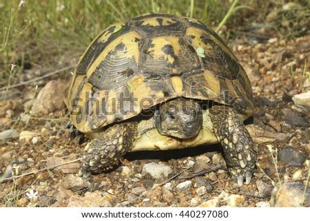 Portrait of Hermann's tortoise, Testudo hermanni in grass - stock photo