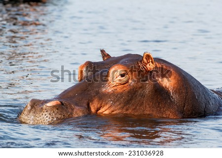portrait of Hippo Hippopotamus Hippopotamus. Chobe National Park, Botswana. True wildlife photography - stock photo