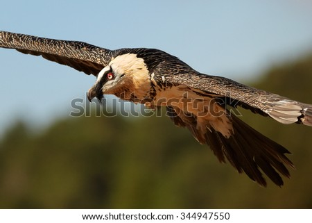 Portrait of hovering adult bearded vulture in full orange color plumage with distant colorful sky in the Spanish Pyrenees  - stock photo