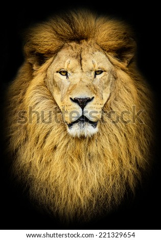 Portrait of huge beautiful male African lion against black background - stock photo