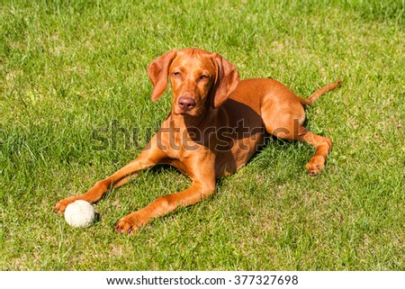 Portrait of Hungarian Vizsla puppy lying on the grass, Hungarian-Short haired Pointing Dog - stock photo