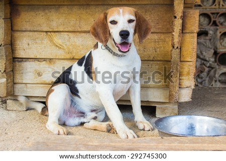 Portrait of hungry beagle dog standing next to the bowl. - stock photo