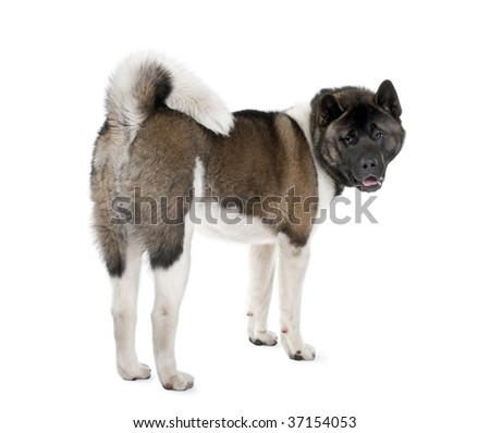 Portrait of husky dog, standing against white background, studio shot